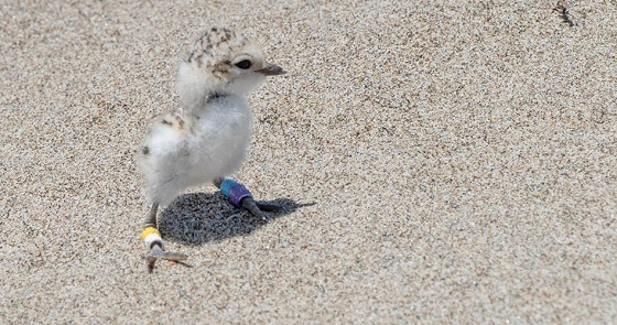 Braile plover masters thesis