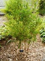 Bamboo_Garden_Los_Altos_11.JPG