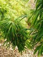 Bamboo_Garden_Los_Altos_27.JPG