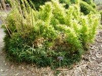 Bamboo_Garden_Los_Altos_8.JPG