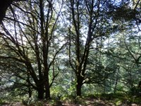 Purisma_Creek_Redwoods_12.JPG